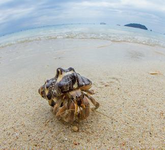 大型寄居蟹