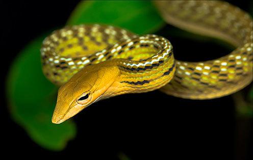 绿瘦蛇幼体