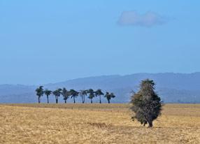 亚拉谷草卷