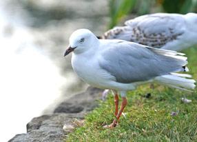 墨尔本皇家植物园连拍水鸟