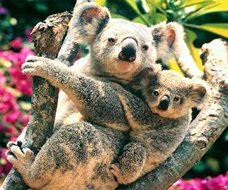 考拉赖皮求爱抱