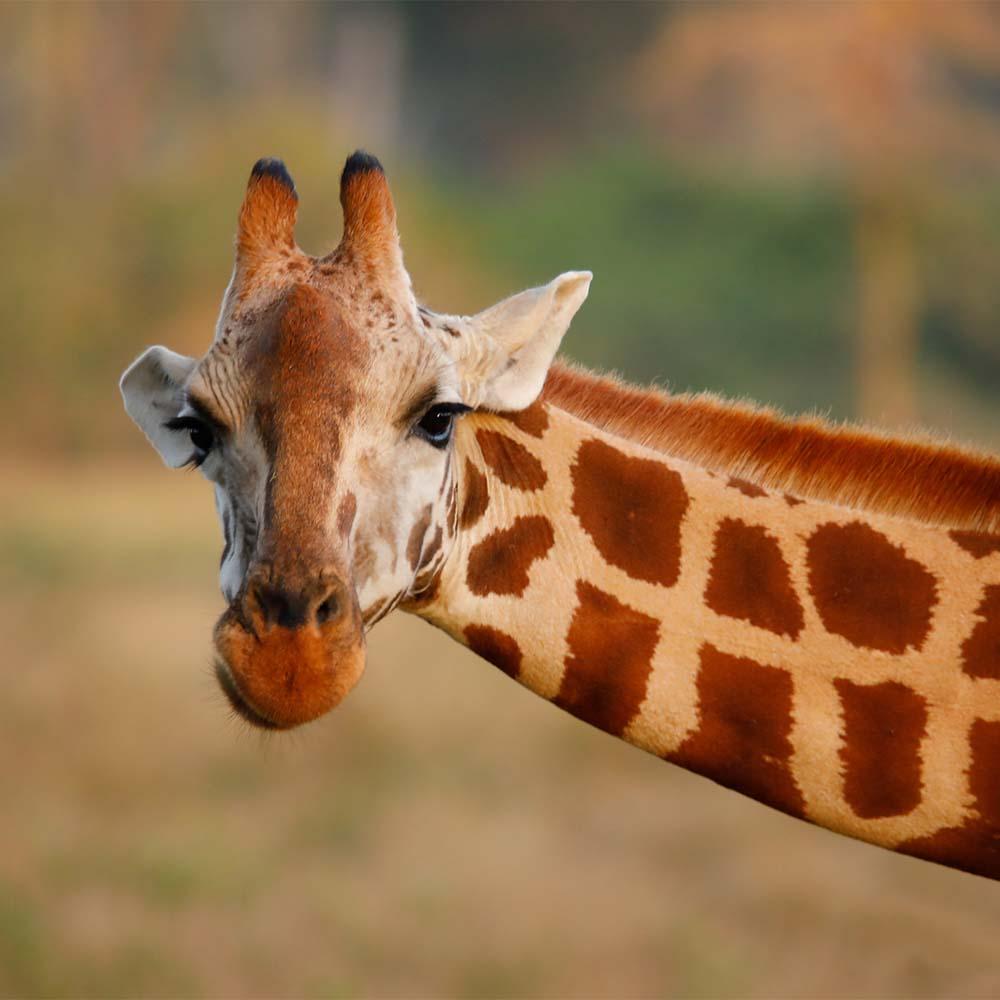 罗氏长颈鹿