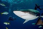 关于潜水:那些年我见过的鲨鱼